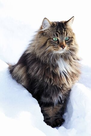 A pretty young brown-black Norwegian Forest Cat at winter in the snow Фото со стока - 134270603