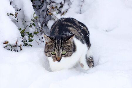 A little cat fights its way through the deep snow Фото со стока - 134270605