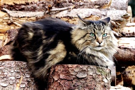 A pretty Norwegian Forest Cat sits on a pile of wood with an evil eye Фото со стока
