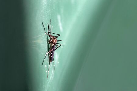 Close-up of an Asian bush mosquito (Aedes japonicus)