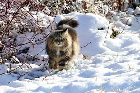A Norwegian Forest Cat with outstretched tongue in winter in the snow