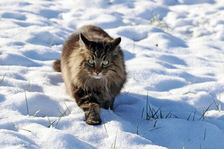 A pretty Norwegian Forest Cat walks through the snow in winter Фото со стока