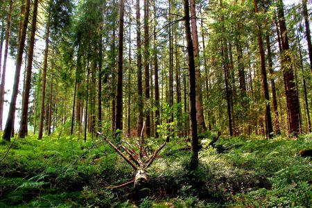 A green forest with tree roots in Bavaria. Spruce forest in summer