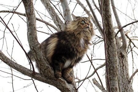 A Norwegian Forest Cat is a good climber and sits on a tree Фото со стока - 137039691