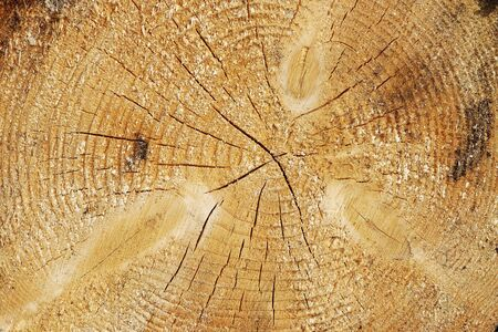 Close-up of a sawed through tree trunk. Cross section of a tree