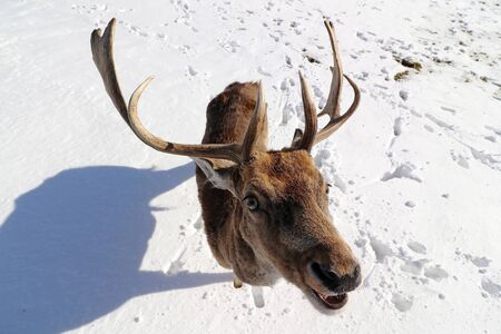 Funny wide angle shot of a fallow deer in winter in the snow