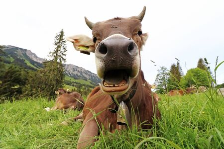 Funny photo of a cow with horns and bell with open mouth in the mountains