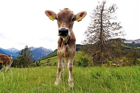 A young pretty brown cattle in the mountains of Bavaria
