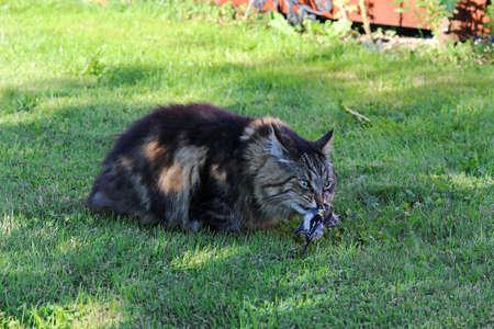 A Norwegian Forest Cat caught a bird in summer