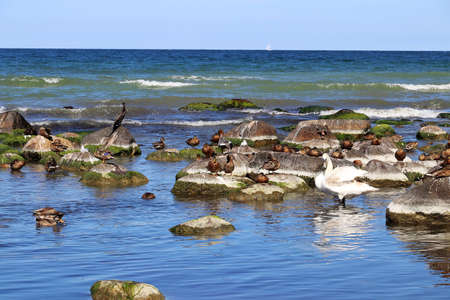 Cormonrane, ducks and swans on the coast of the island of Ruegen on the Baltic Sea in Germany