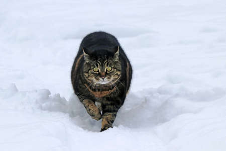 A black and brown cat runs through the deep snow in winter