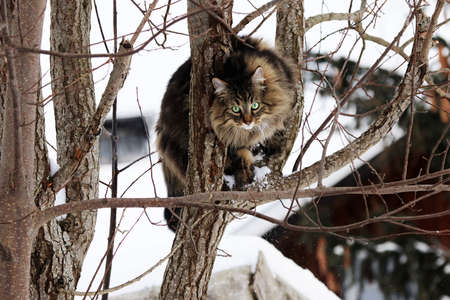 A Norwegian Forest Cat has skillfully climbed a tree in winter Standard-Bild