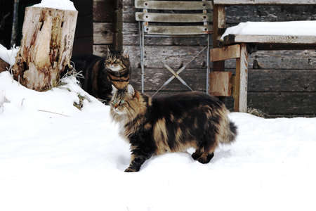 A Norwegian Forest Cat playing with another cat in the snow in front of a wooden house Standard-Bild