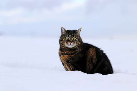 A fat fluffy cat sits in the snow in winter