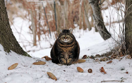 A fat fluffy cat sits in the snow between two trees in winter