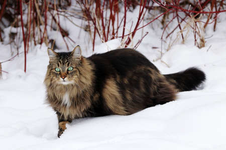 A female Norwegian Forest Cat running through the snow in winter