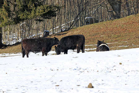 Galloway cattle in winter in snow on a pasture in Bavaria