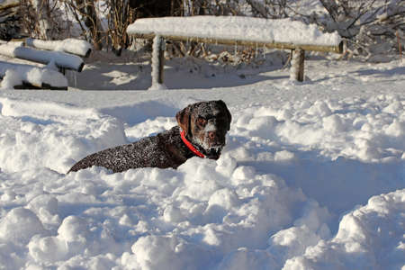 A young brown labrador dog playing in the snow in winter Standard-Bild