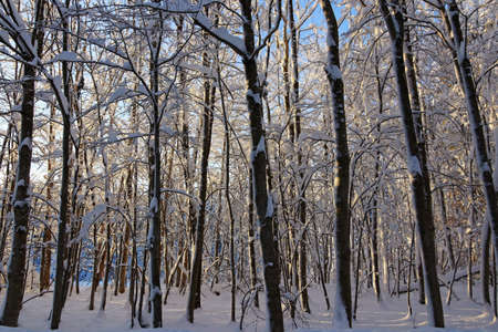 Snowy trees in winter in forest backlit by the sun Standard-Bild