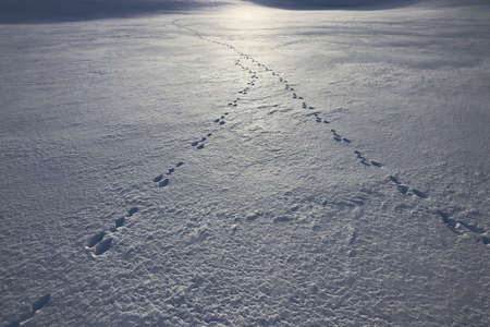 The tracks of two hares meet in the snow against the light of the sun Standard-Bild