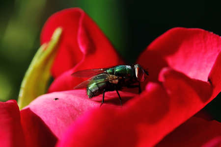 A green shiny gold fly (Lucilia sericata) sits on a red rose