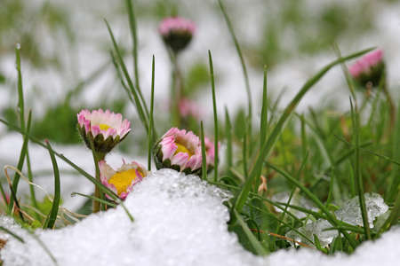 Snowfall in spring. Daisy in the meadow under cold snow