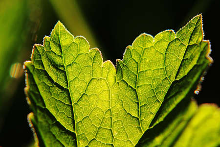 Close up of a plant leaf backlit Standard-Bild - 163592423