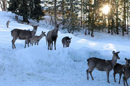 A herd of Sika deer in winter in the forest against the light of the sun