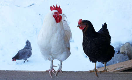 A whiter rooster and a black hen on a fence in winter in the snow