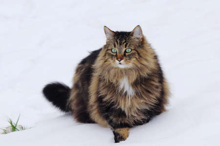 A pretty fluffy female Norwegian Forest Cat in the snow