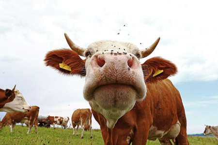 Wide angle shot of cow with many flies on nose