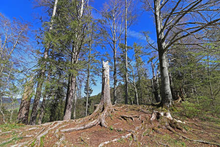 Forest dieback in the Alps. Broken trees in mountain forest