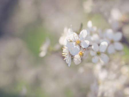 Early spring wild cherry tree bllossom with tiny white flowers stock early spring wild cherry tree bllossom with tiny white flowers stock photo 98436101 mightylinksfo