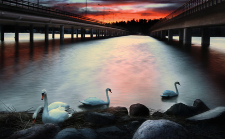 leading: Swans swimming under the cloudy sky on a red sunset between double bridges leading to Vuosaari Helsinki