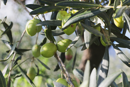 olive green: branches of olives