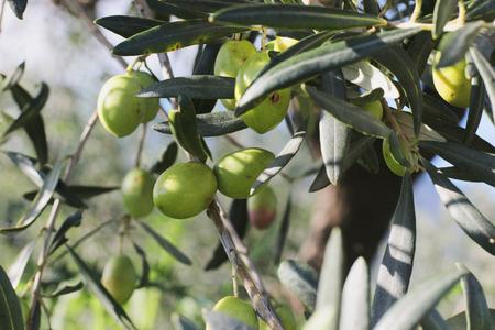 arboles frutales: ramas de las aceitunas