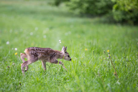 Young fawn standing in grass. Summer fauna and flora.Wildlife. Stock Photo