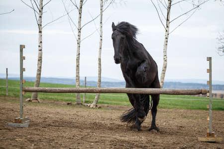 Photo of jumping friesian horse