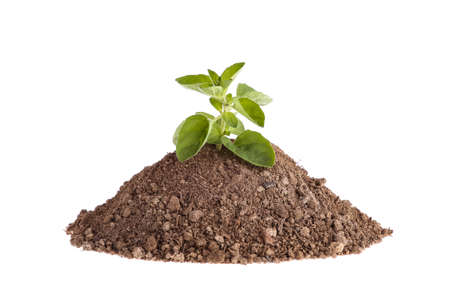 Photo of a plant growing on a hill of clay isolated on a white background. Plants and gardening. Stock Photo
