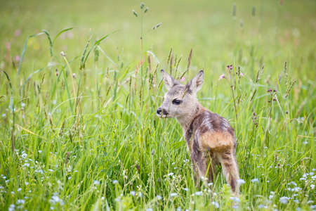 Young deer standing on blooming meadow. Summer fauna and flora.Wildlife.