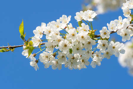 Cherry Blossoms on a blue sky. Spring floral background. Cherry flowers blossoming in the springtime.