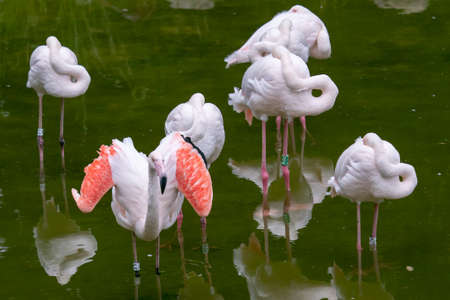 Flamingos relaxing on pond. Birds in nature.