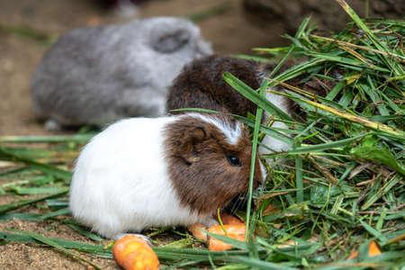 Guinea pig eats carrot Cavia aperea f. porcellus .