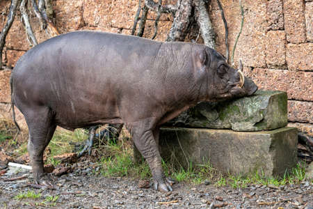 Babirusa Celebes Babyrousa babyrussa endangered animal species