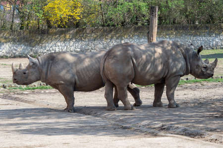 Big eastern black rhinoceros, Diceros bicornis michaeli
