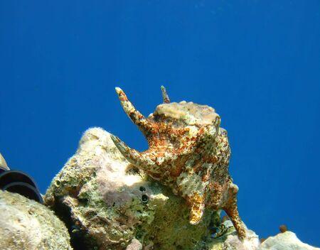 spider seashell undewater lying on rocky seabed, Maldives, 2006 photo