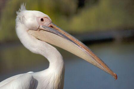 animal pouch: White pelican head