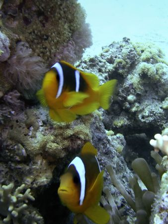 Two clownfish among an anemones Stock Photo