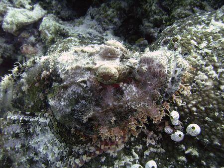 scorpionfish: Underwater largescaled picture of Tasseled scorpionfish (Scorpaenopsis oxycephala)  under  natural light