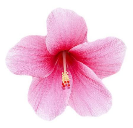 fully developed hibiscus flower against white background Stock Photo